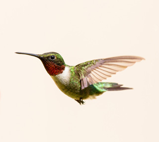 2016, July 24: Hummingbirds in the Garden