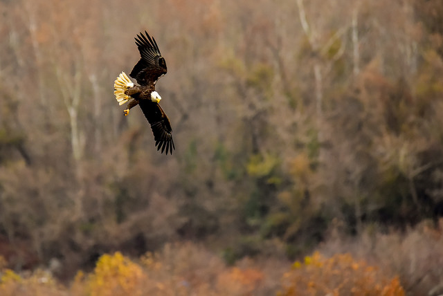 Bald Eagles at Conowingo Dam-Angela Napili