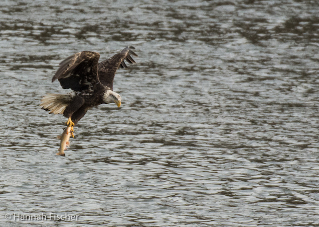 Bald Eagles at Conowingo Dam-Hannah Fischer