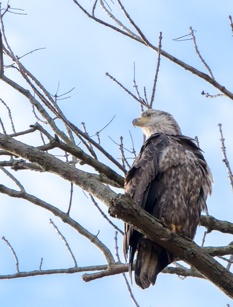 Bald Eagles at Conowingo Dam-Joy Philippi