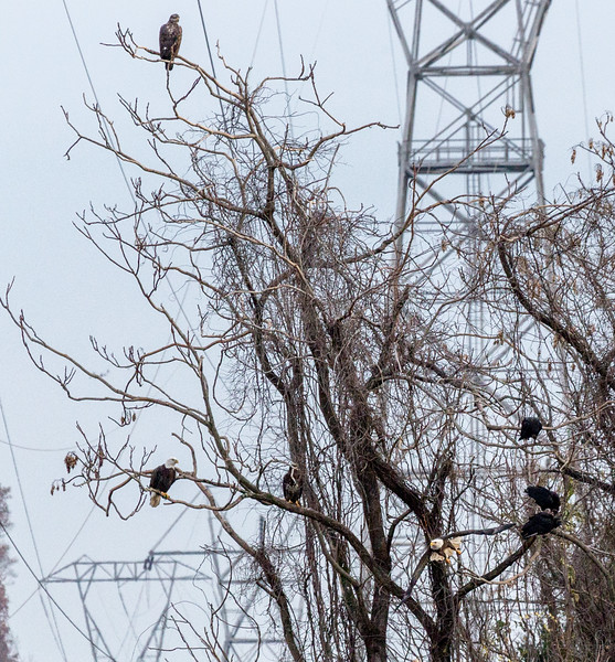 Bald Eagles at Conowingo Dam-Mel McNamara