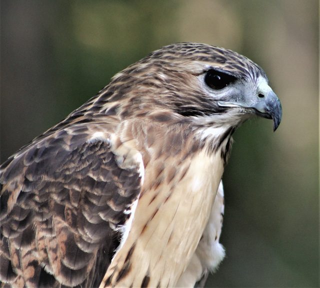 Birds of Prey and Critters -Amy Ellis