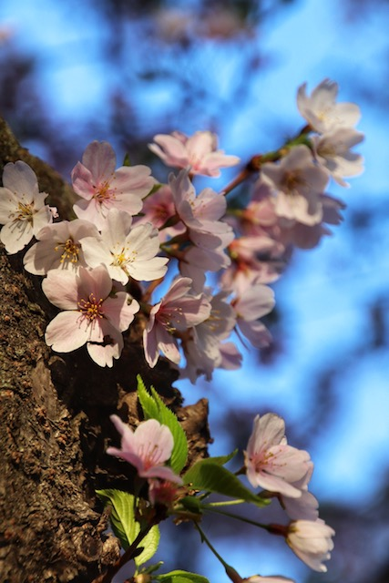 Early Morning Cherry Blossoms Photo Shoot-Donna Peterson