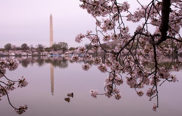 Early Morning Cherry Blossoms Photo Shoot-Gerry Woods