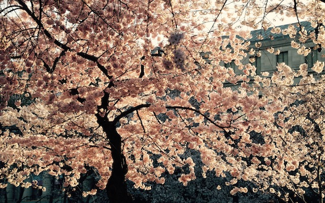 Early Morning Cherry Blossoms Photo Shoot-Noriko H.