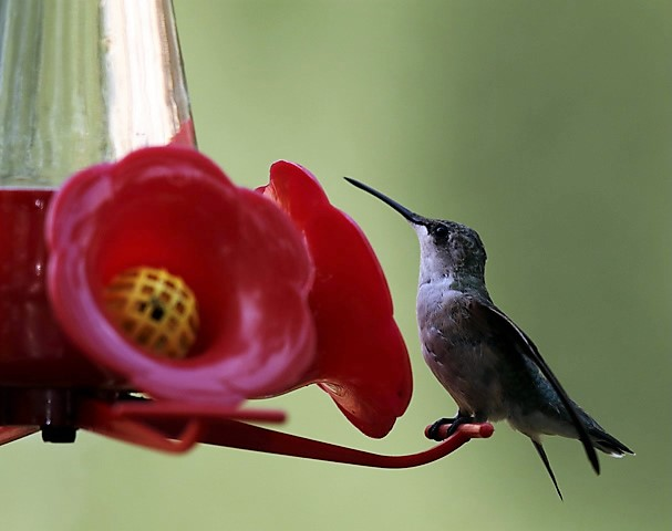 Hummingbirds in the Garden-Carla Kendrick