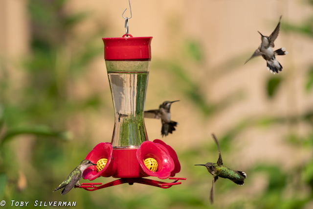 Hummingbirds in the Garden-Toby Silverman