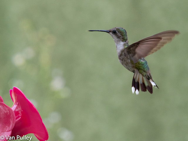 Hummingbirds in the Garden-Van Pulley