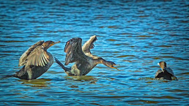 Wintering Waterfowl-Audrey Gassman