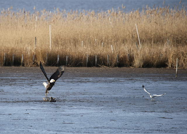 Winter at Blackwater National Wildlife Refuge-Frank Connors