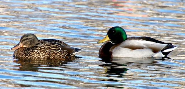 Wintering Waterfowl-Jim Gant