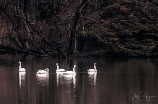 Snow Geese at Middle Creek-Joy Philippi
