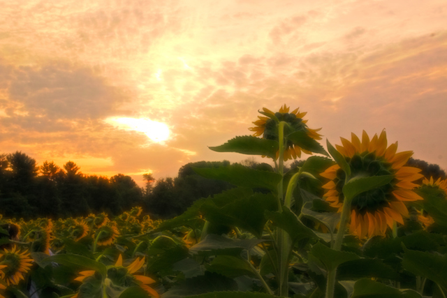 Sunflowers at McKee-Beshers Marsh-Audrey Gassman