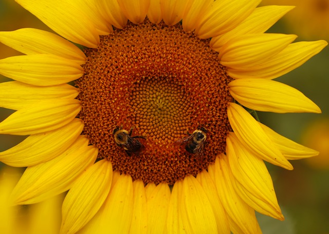 Sunflowers at McKee-Beshers Marsh-Jonathan Stephens
