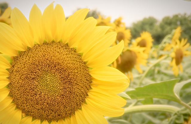 Sunflowers at McKee-Beshers Marsh-Joy Philippi