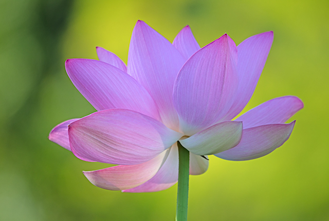 Lotus Blossoms at Kenilworth Gardens-Kimberly Sharp