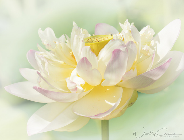 Lotus Blossoms at Kenilworth Gardens-Wendy Crowe