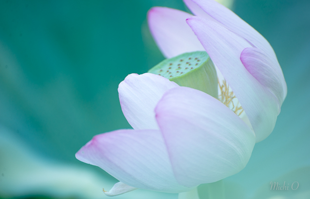 Lotus Blossoms at Kenilworth Gardens-Michiko Okuma