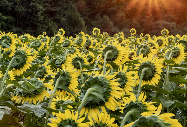 Sunflowers at McKee-Beshers Marsh-Tana Ebbole