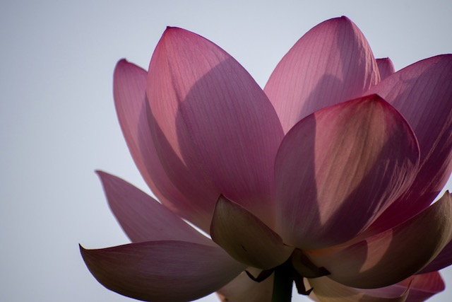 Lotus Blossoms at Kenilworth Gardens-Virginia Cheng