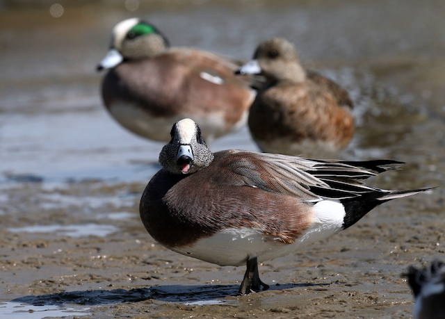 Eastern Shore's Wintering Ducks-Frank Connors