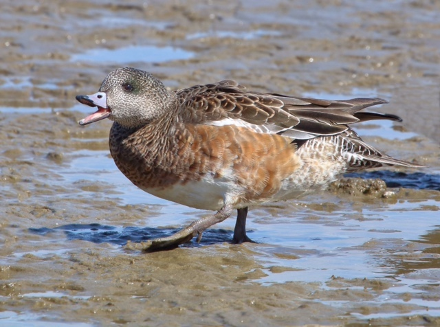 Eastern Shore's Wintering Ducks-Jack McKim