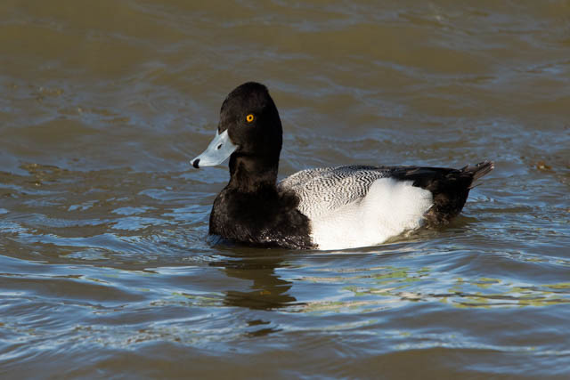 Eastern Shore's Wintering Ducks-Merle Littowitz