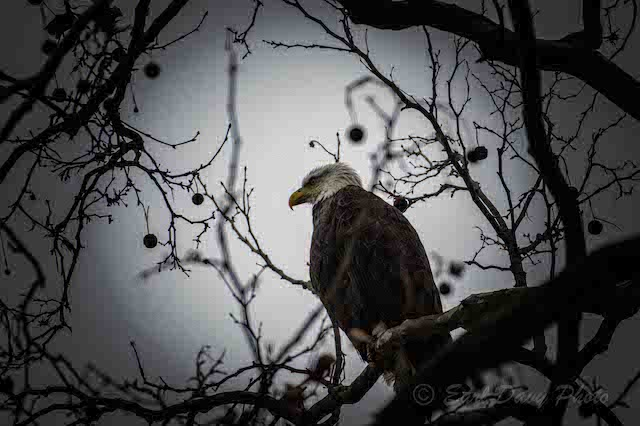 Bald Eagles at Conowingo Dam-Earl Davy