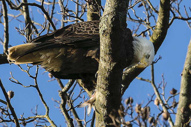 Bald Eagles at Conowingo Dam-Leigh Scott