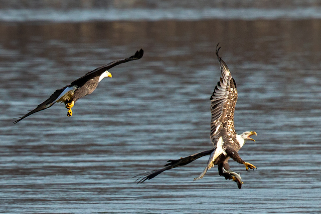 Bald Eagles at Conowingo Dam-David Ponder