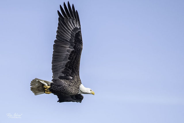 Bald Eagles at Conowingo Dam-Tory Detweiler