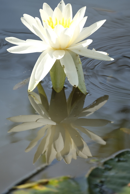 Lotus and Lilies at Kenilworth Gardens-Barbara Hlavka