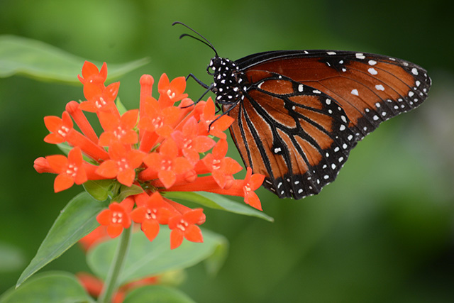 Butterflies at Brookside Gardens-Jill Westeyn