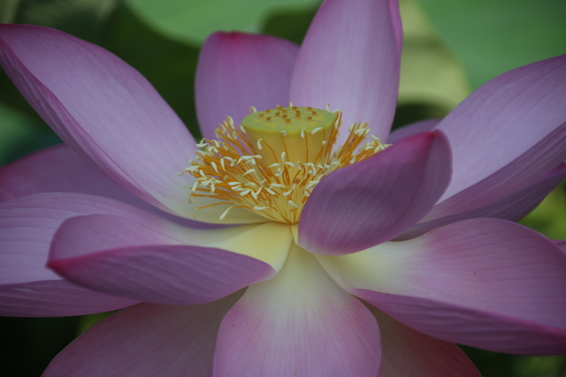 Lotus and Lilies at Kenilworth Gardens-Paula Novara