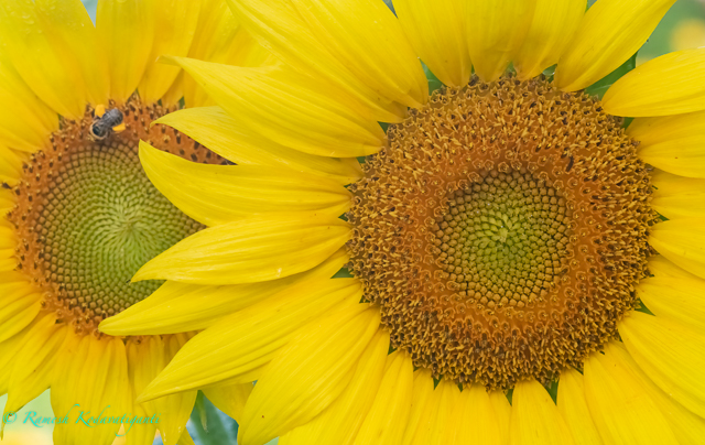 Sunflowers at McKee-Besher's Wildlife Management Area-Ramesh Kodavatiganti