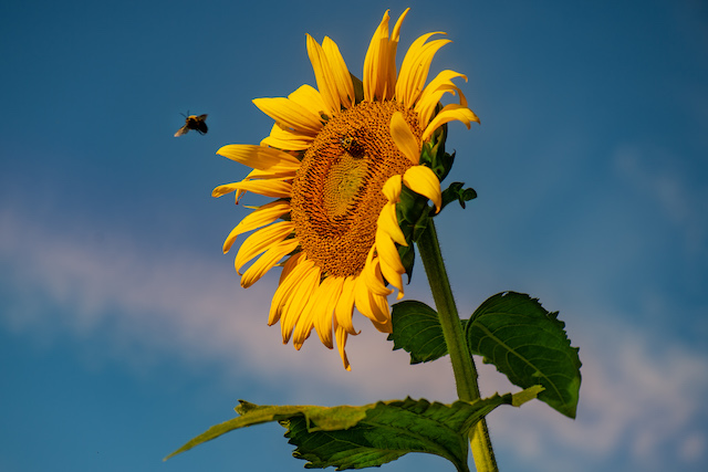 Sunflowers at McKee-Besher's Wildlife Management Area-Vinod Thomas