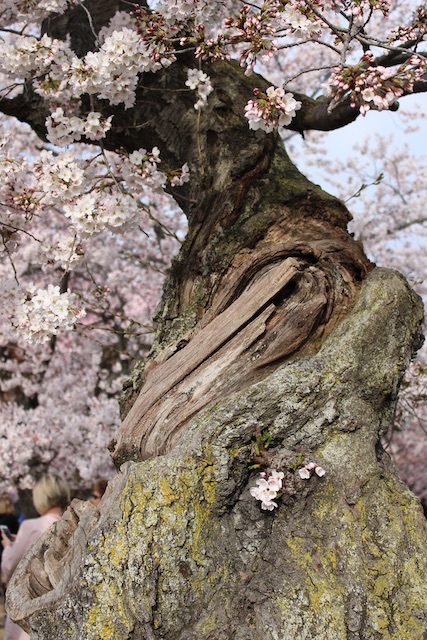Fieldwork - Photography Basics with Cherry Blossoms-Lisa Sacchini