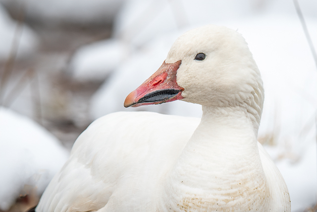 Snow Geese at Middle Creek Workshop-Willy Palmer