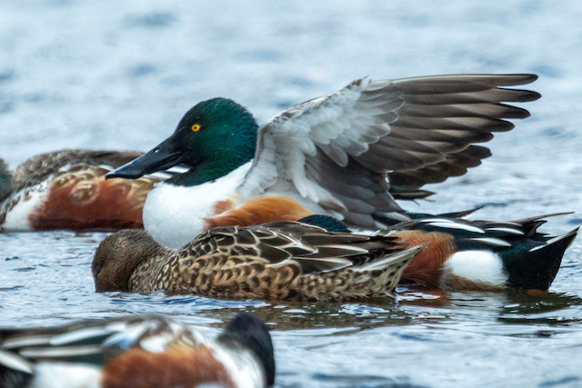 Wintering Waterfowl-David Ponder