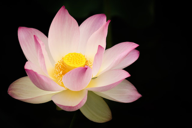 Lotus and Lilies at Kenilworth Aquatic Gardens-Nicole Griffin