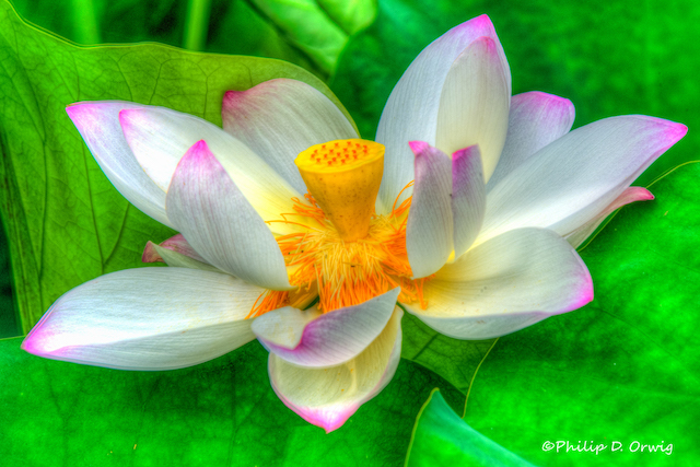 Lotus and Lilies at Kenilworth Aquatic Gardens-Philip Orwig