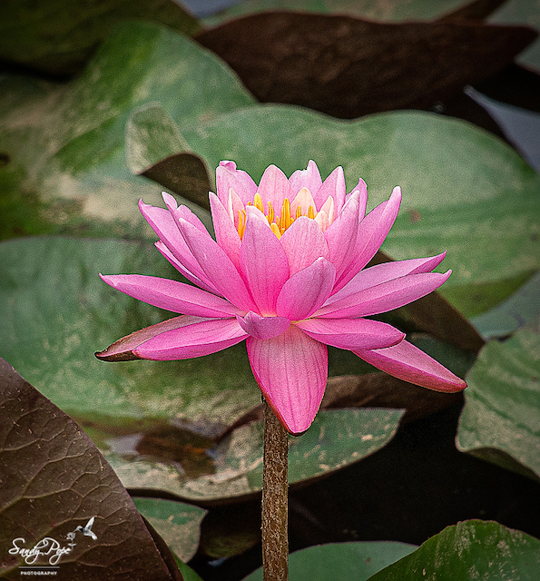 Lotus and Lilies at Kenilworth Aquatic Gardens-Sandy Pope