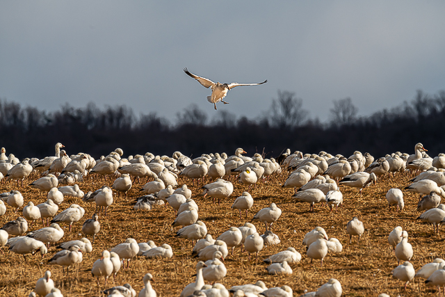 Snow Geese at Middle Creek-Willy Palmer