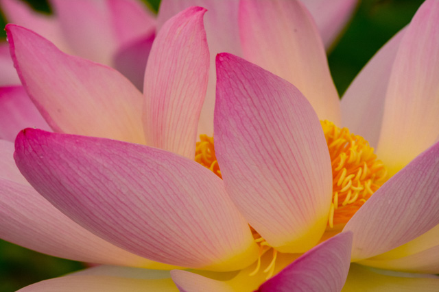 Lilies and Lotus at Kenilworth Gardens-Andrew Berrier