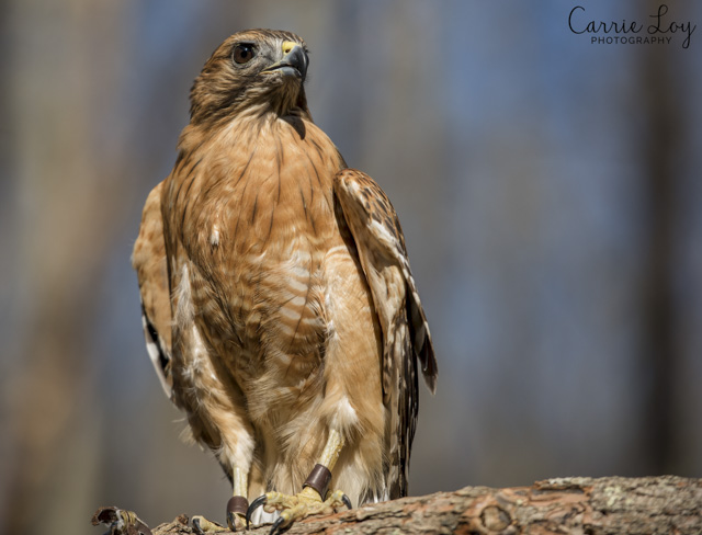 Birds of Prey and Wildlife Critters-Carrie Loy