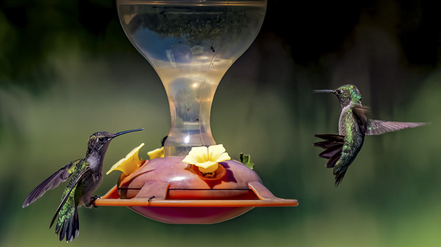 Hummingbirds in the Garden-Joy Philippi