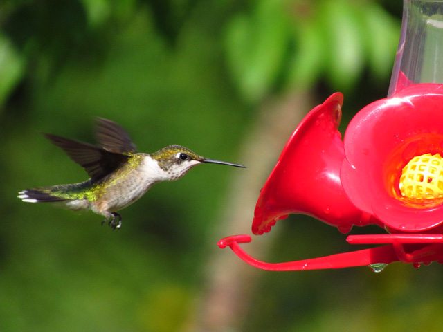 Hummingbirds in the Garden-Melissa Adams