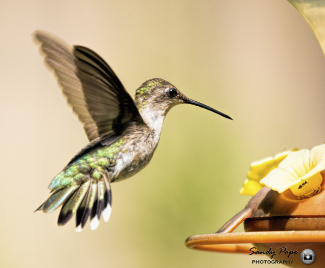 Hummingbirds in the Garden-Sandy Pope