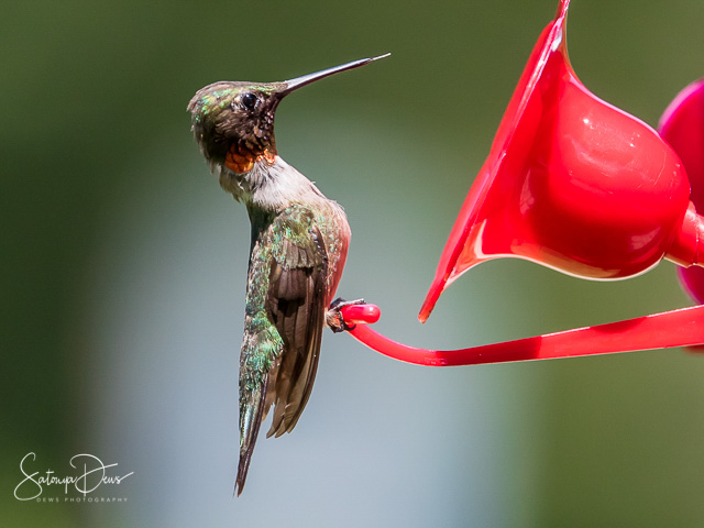 Hummingbirds in the Garden-Satonya Dews