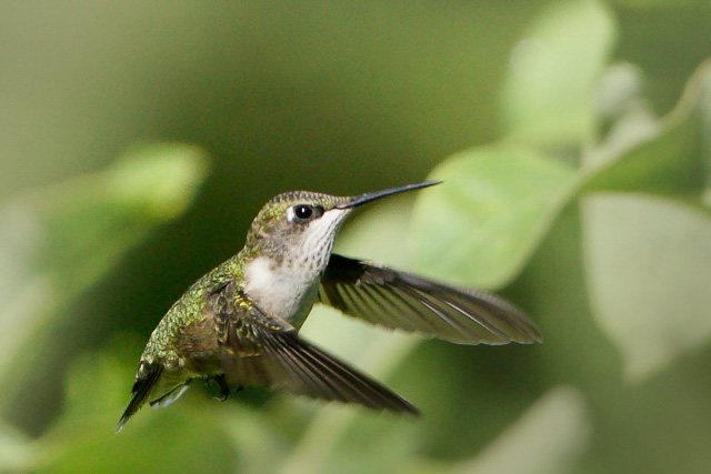 Hummingbirds in the Garden-Suet Man